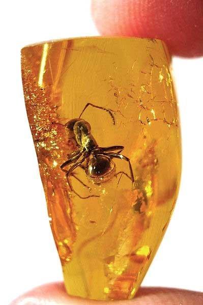 فسیل زیبا و کمیاب مورچه داخل کهربا
